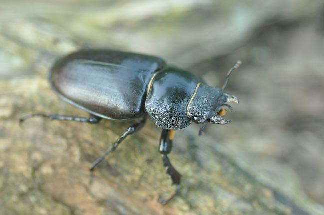 Lucane femelle