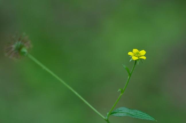 Benoite-fleur-David_melbeck