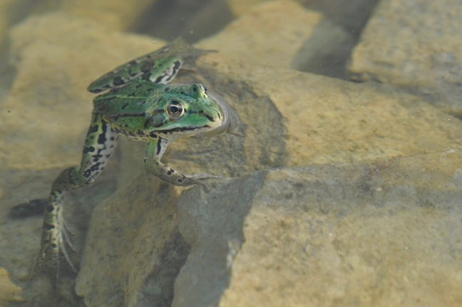 grenouille-verte-david-melbeck