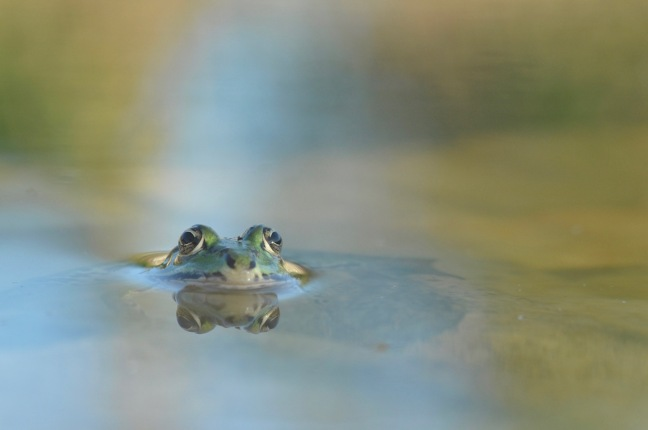 grenouille-verte-te%cc%82te-david-melbeck