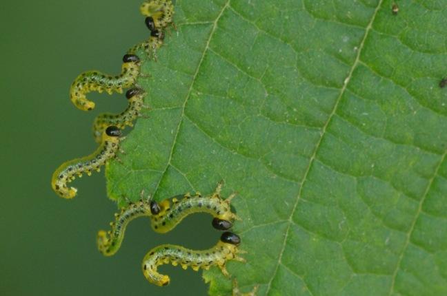 larve-tenthredes-noisetier-d-melbeck