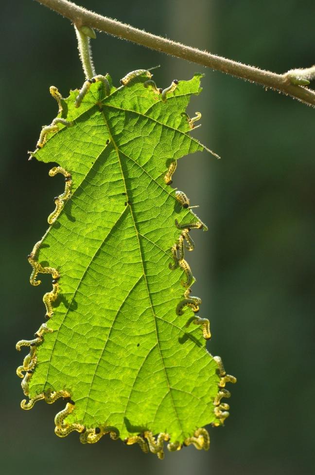 larves-de-tenthredes-d-melbeck