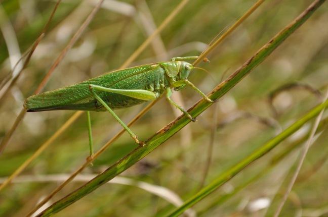 grande-sauterelle-vert-david-melbeck