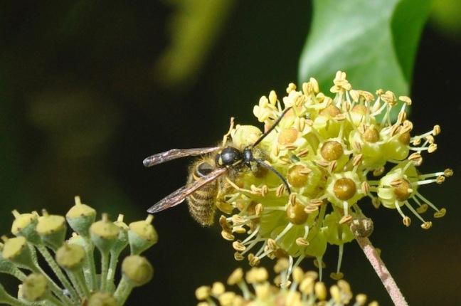 male-guepe-sociale-sur-fleur-lierre-d-melbeck