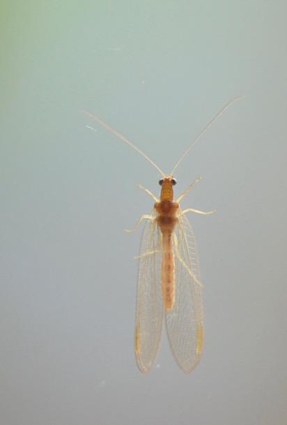 chrysope-hivernage-david-melbeck