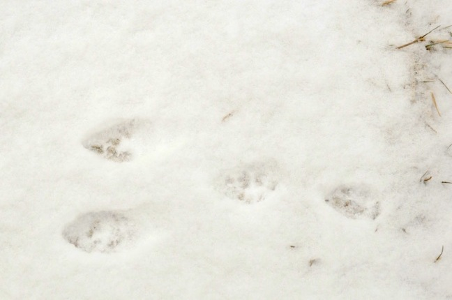 empreinte-lievre-neige-david-melbeck