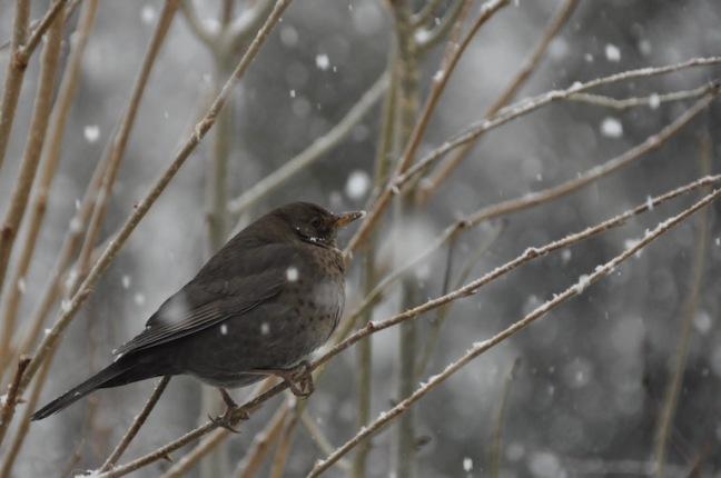 merle-sous-la-neige-david-melbeck