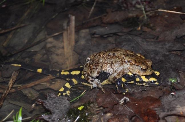 Crapaud-salamandre - David Melbeck