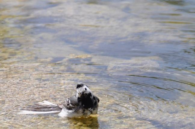 Bergeronnette grise-mare - david melbeck