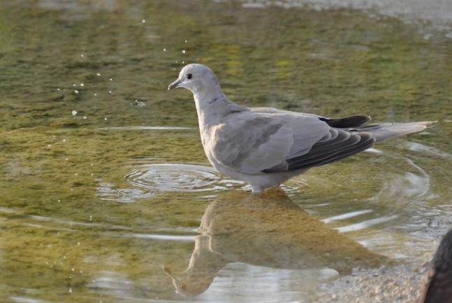 Tourterelle - mare - david melbeck