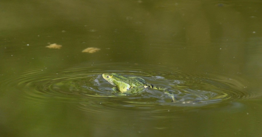Brasse coulée grenouille verte - David Melbeck
