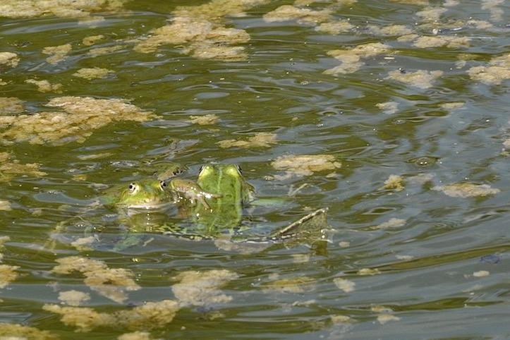 Gladiateurs grenouille verte - David Melbeck