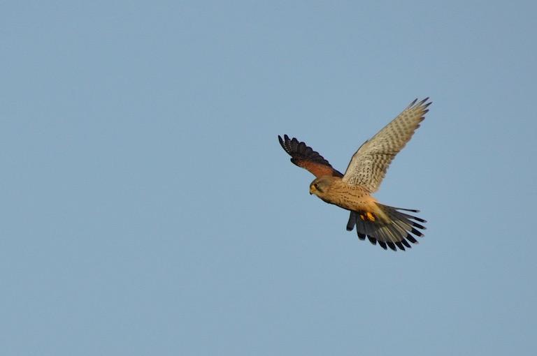 Faucon crécerelle -vol en Saint-Esprit - profil - David Melbeck