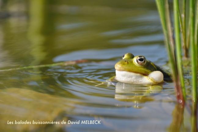 Grenouille verte tête chant- David Melbeck