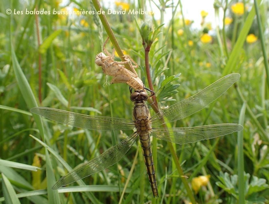Métamorphose libellule - Orthétrum réticulé